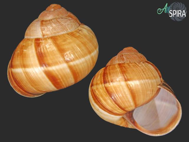 Helix lucorum