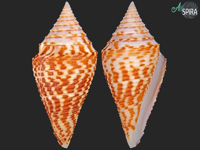 Conus praecellens