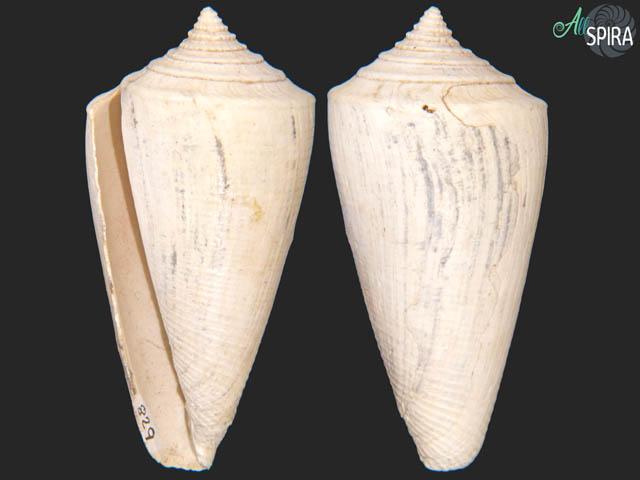 Conus adversarius tryoni