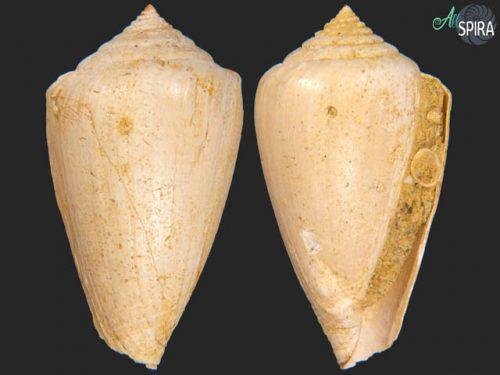 Conus surcula_F