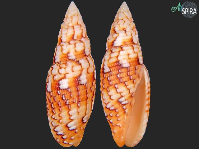 Scabricola variegata
