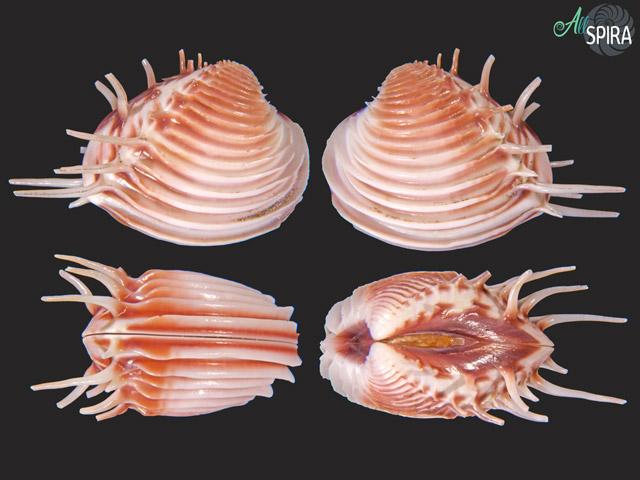 Pitar multispinosus
