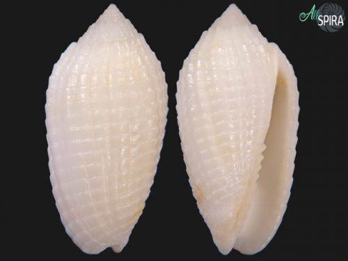 Pterygia glans