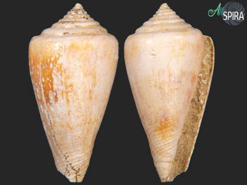 Conus aldrovandi_F