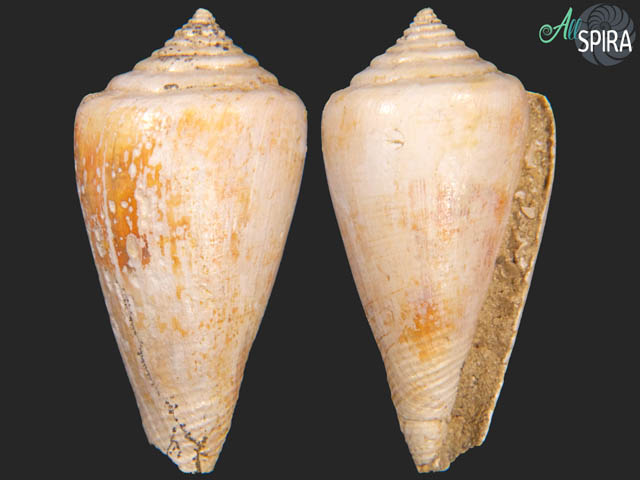 Conus aldrovandi