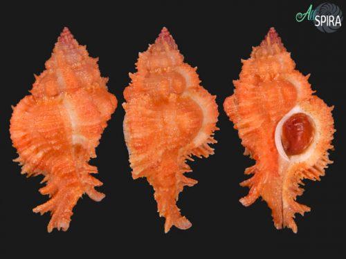 Chicomurex gloriosus