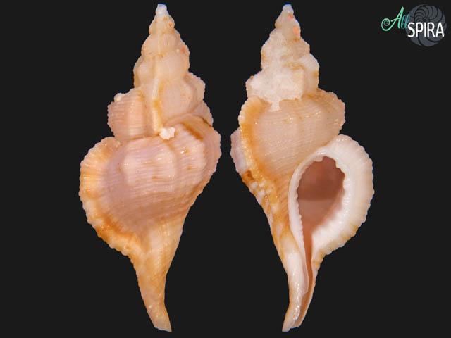 Turritriton tenuiliratus