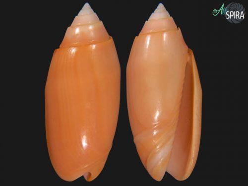 Oliva amethystina f carnicolor