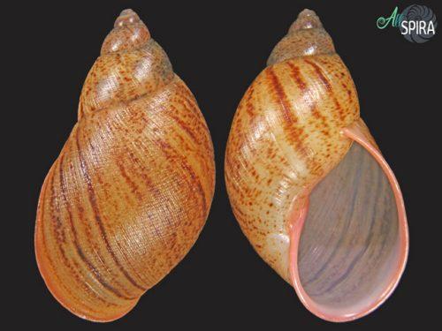 Plekocheilus lynciculus