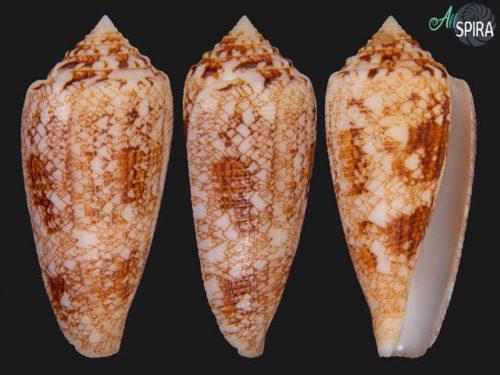 Conus tagaroae