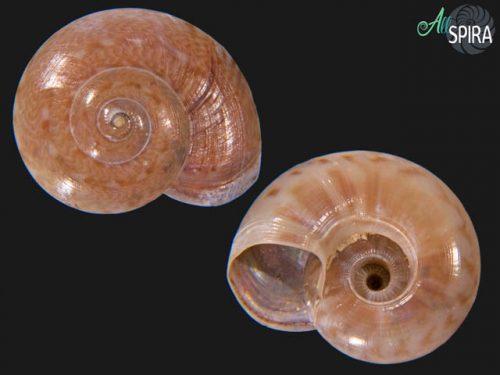 Ethaliella pulchella