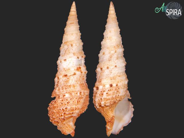 Iotyrris olangoensis