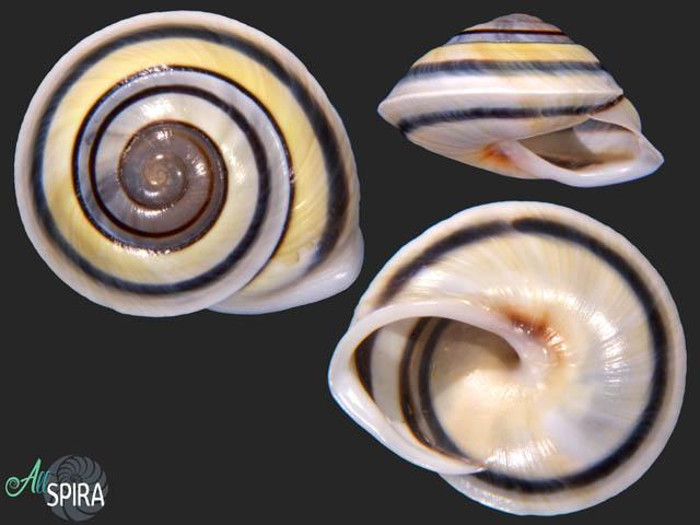 Chloraea fibula