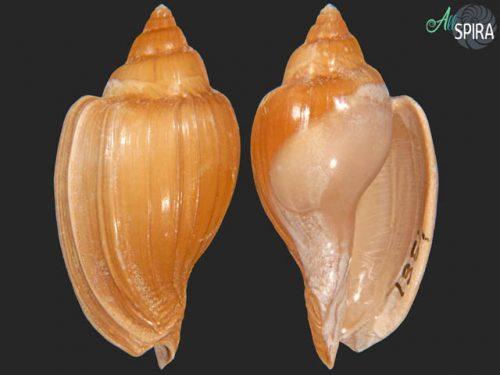 Cryptochorda stromboides_F