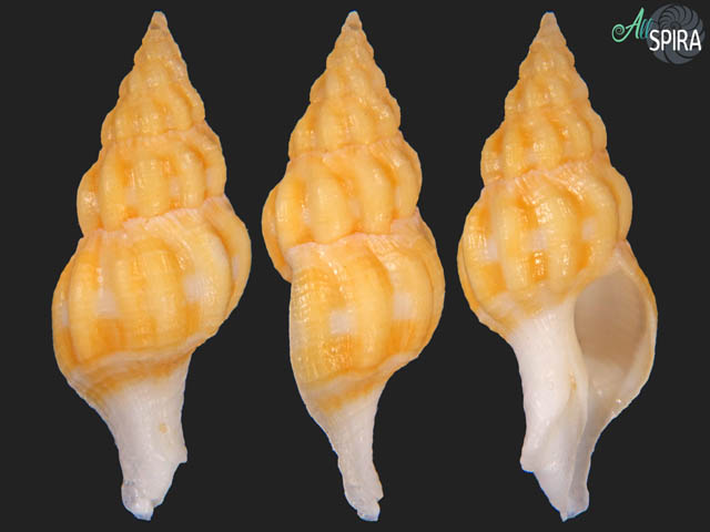 Fusolatirus sarinae