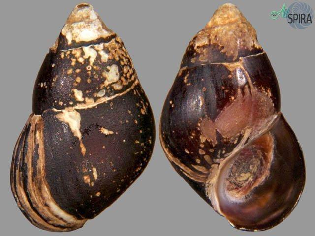 Pachychilus corvinus