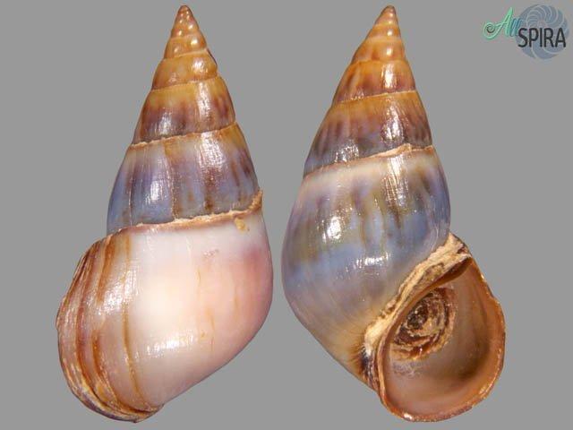 Pachychilus cinereus