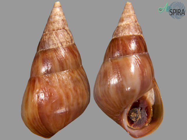 Pachychilus indiorum