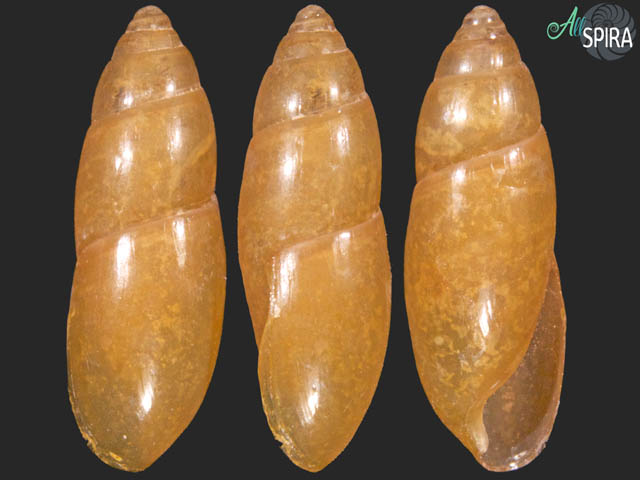 Oleacina poeyana