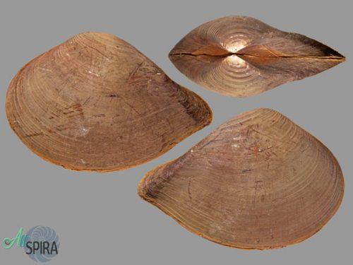 Hybolophus gibbosus