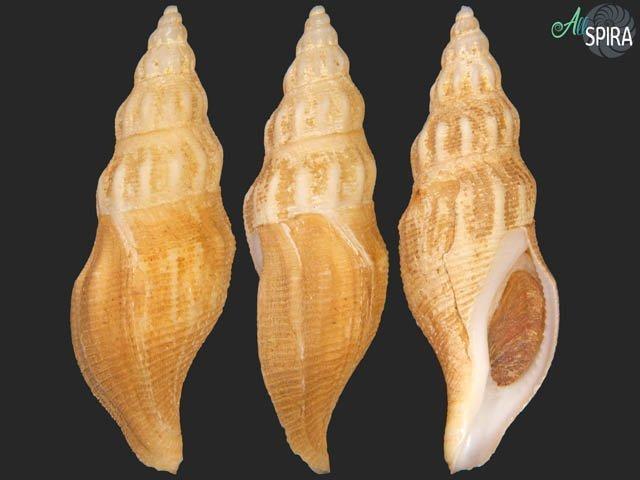 Manaria fusiformis