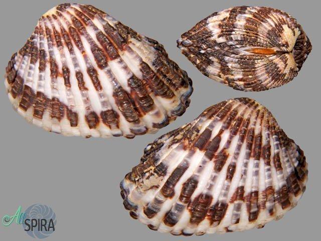 Cardites laticostatus