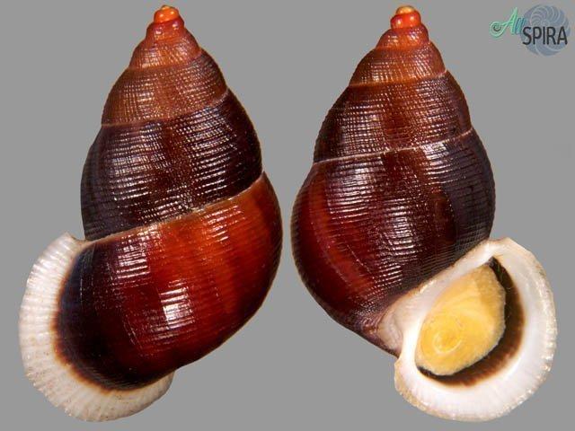 Chondrothyra cerina roseoapicata