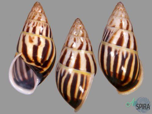 Amphidromus sp 8