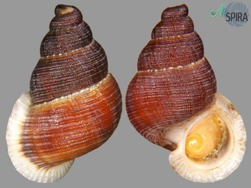 Chondrothyra reticulata fratercula