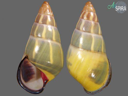 Amphidromus ngocanhi