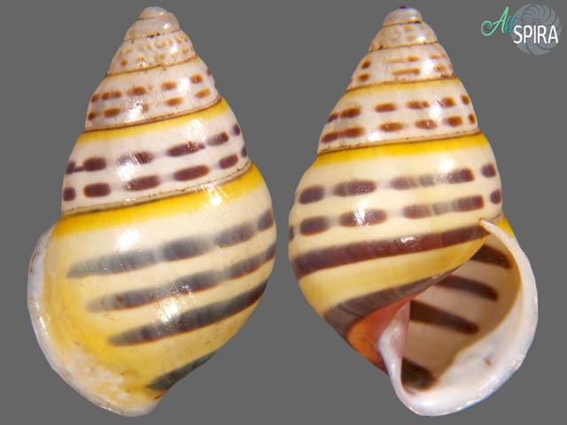 Amphidromus sp
