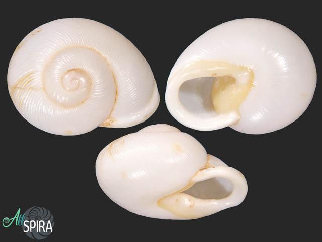 Zachrysia guantanamensis