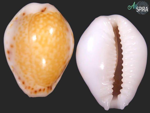 Erosaria acicularis marcuscoltroi