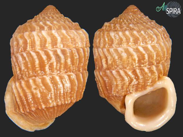 Cerion geophilus