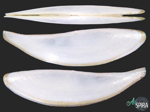 Adrana patagonica