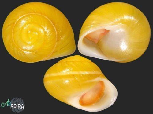 Emoda ciliata
