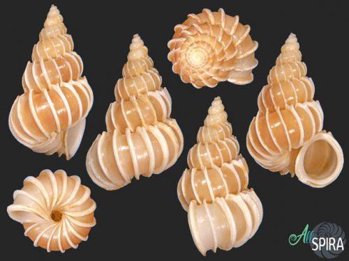 Epitonium pallasi neglectum