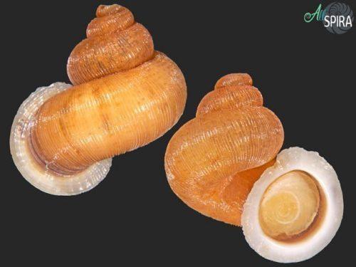 Chondropometes magnum elisabethae
