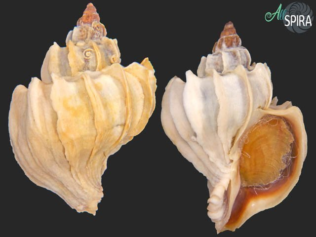 Trophon geversianus f lamellosa