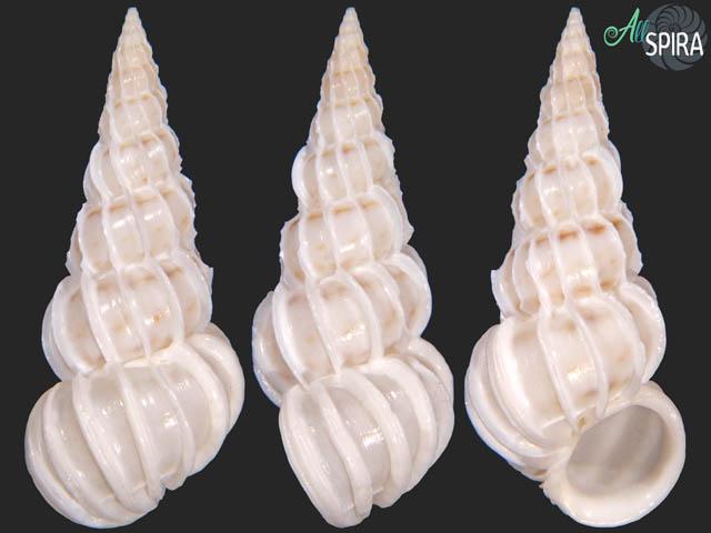 Epitonium simplex