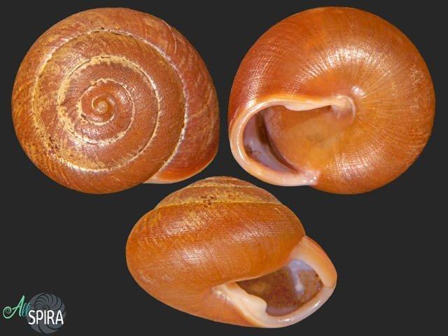 Rhysotina welwitschi