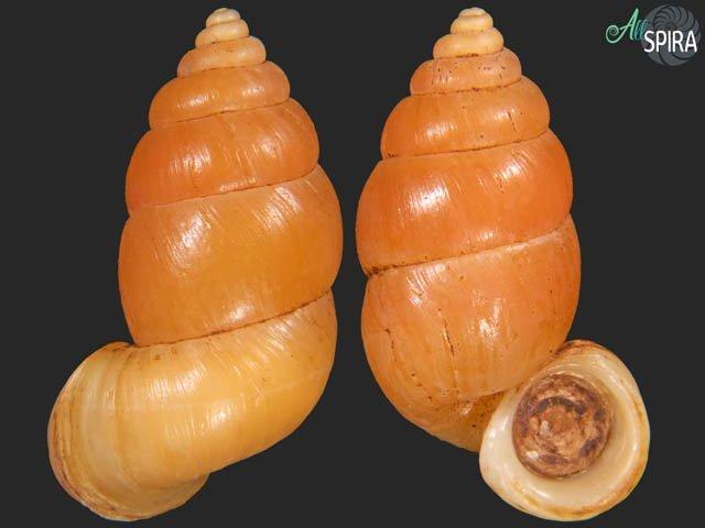 Farcimen vignalensis