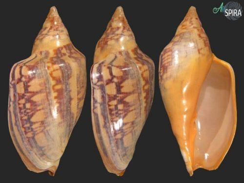 Zidona dufresnei affinis