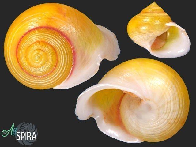 Viana regina subunguiculata