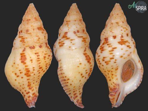 Euthria calypso