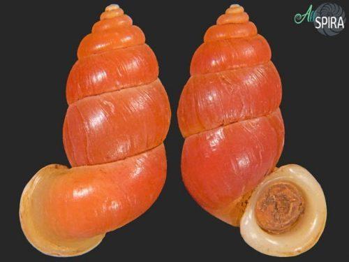 Megalomastomidae