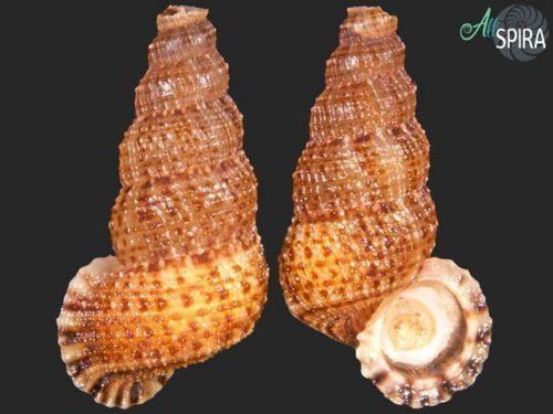 Chondropoma canescens perplexa