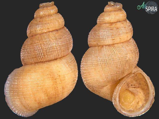 Chondrothyrium violaceum montanei