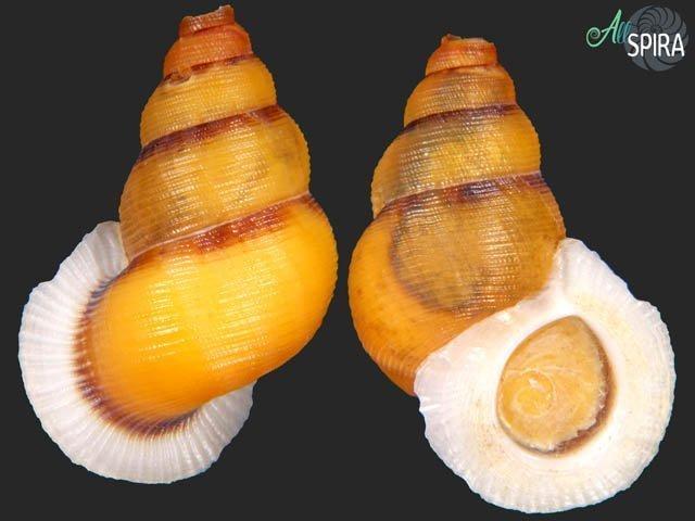 Chondrothyra tosta aurantiaca