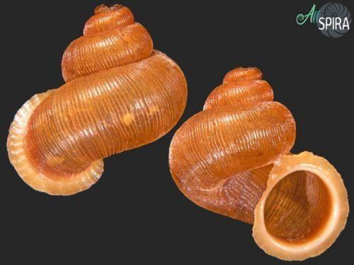 Chondropometes magnum signae